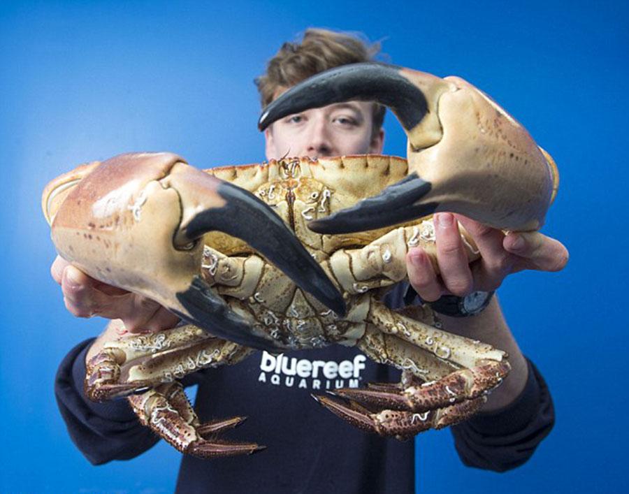 你见过这么大的螃蟹吗?