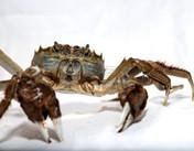 你知道大闸蟹名字的真实由来吗?
